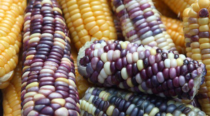 Mais in Gelb und in Bunt