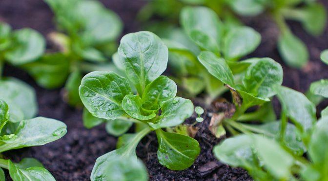 Feldsalat anbauen | Gartengemüsekiosk