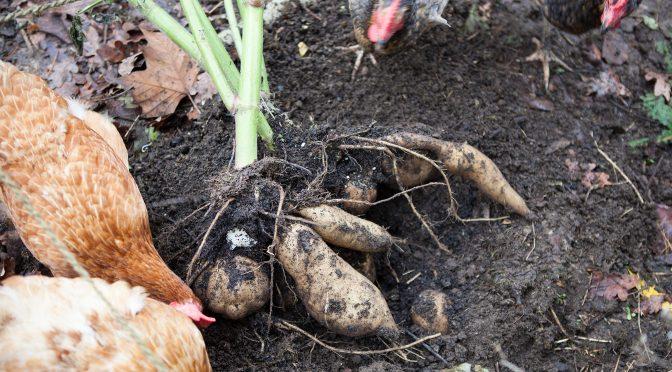 Yacon anbauen, ernten und kochen