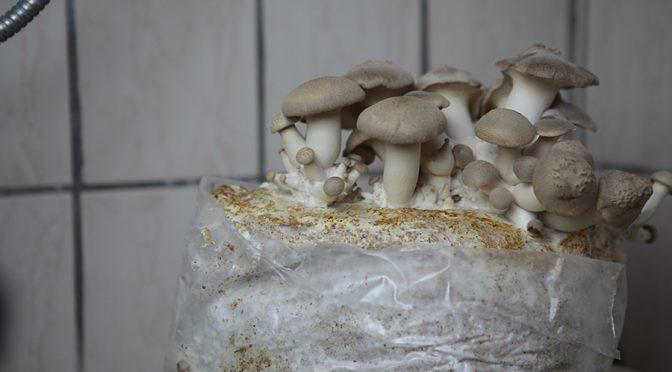 Pilze selber züchten (Kräuterseitlinge)