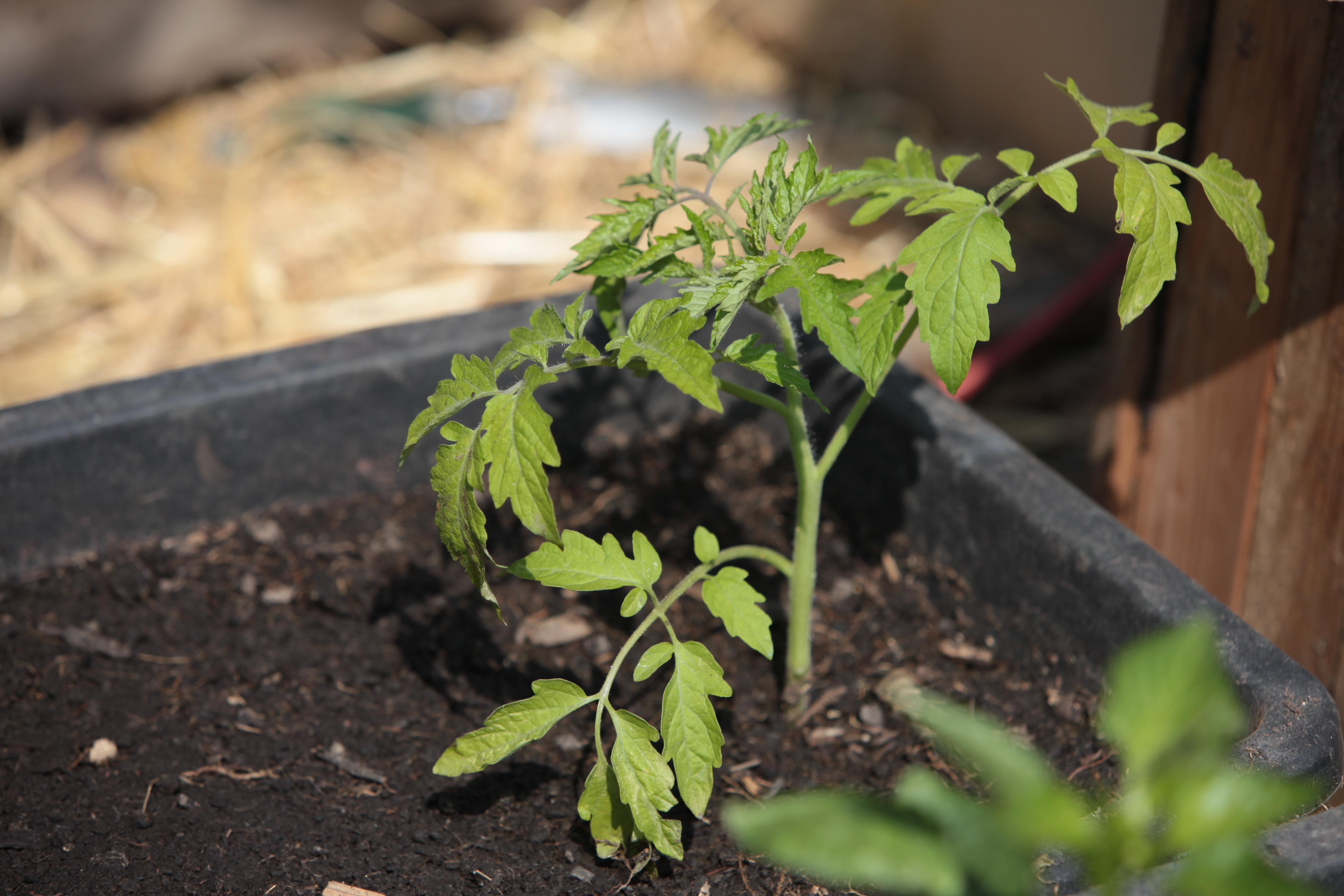 Tomaten ausgeizen & Kraut- und Braunfäule vorbeugen