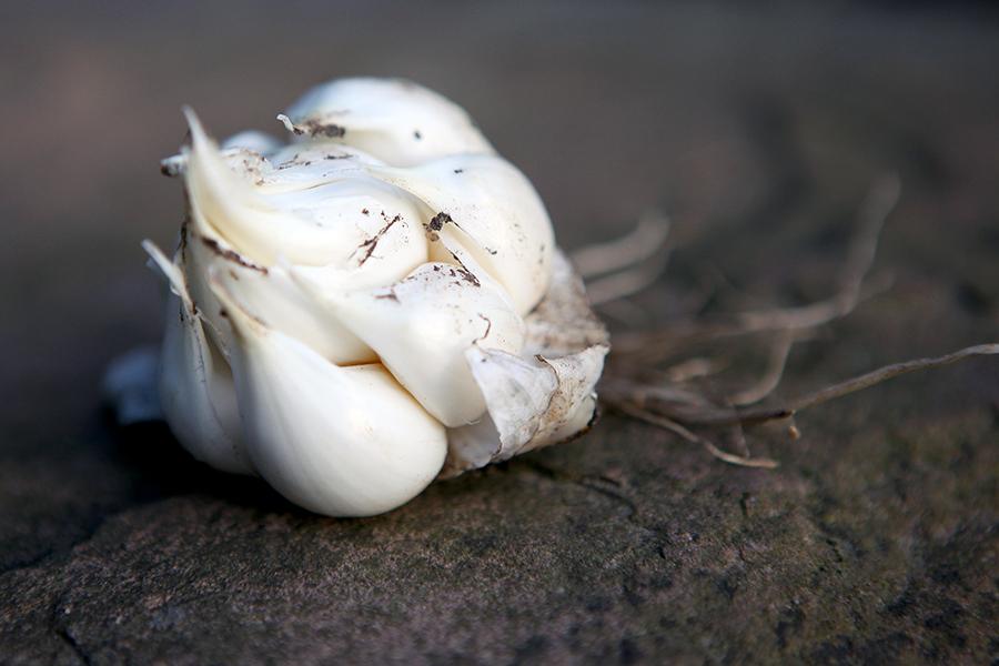 Knoblauch einfach selber anbauen