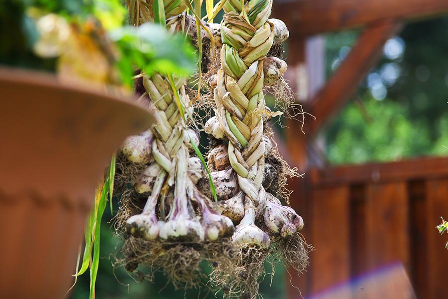 Knoblauch selber anbauen