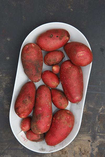 Kartoffeln selbst anbauen