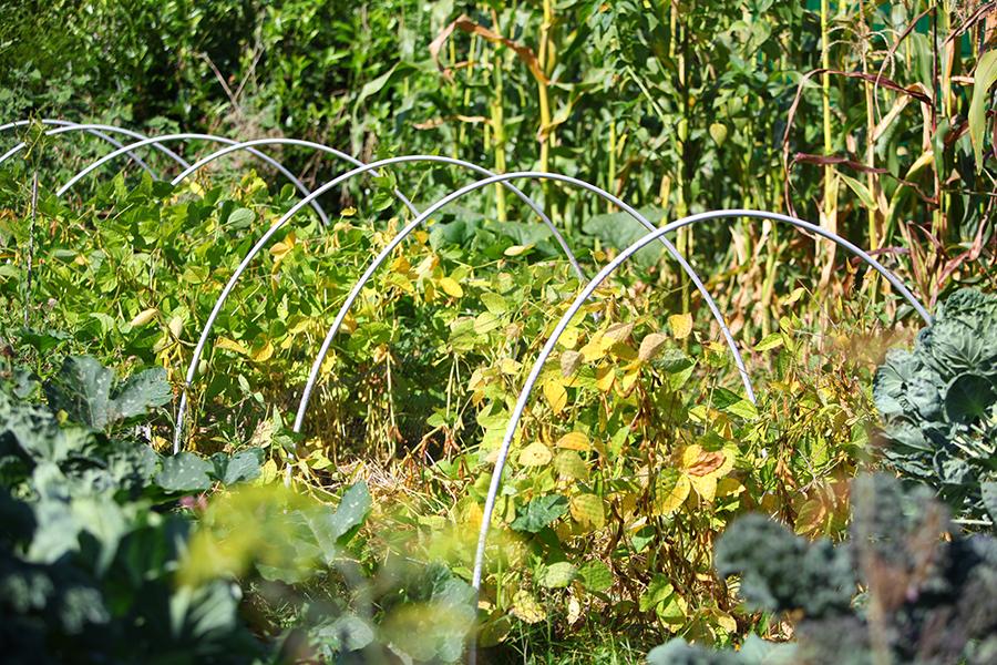 Sojabohnen anbauen