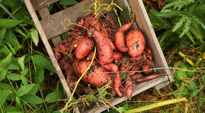 Süßkartoffeln anbauen im Kübel?