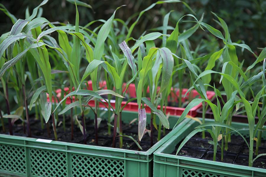 Mais pflanzen