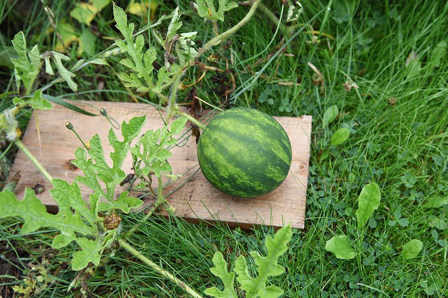 wassermelonen anbauen