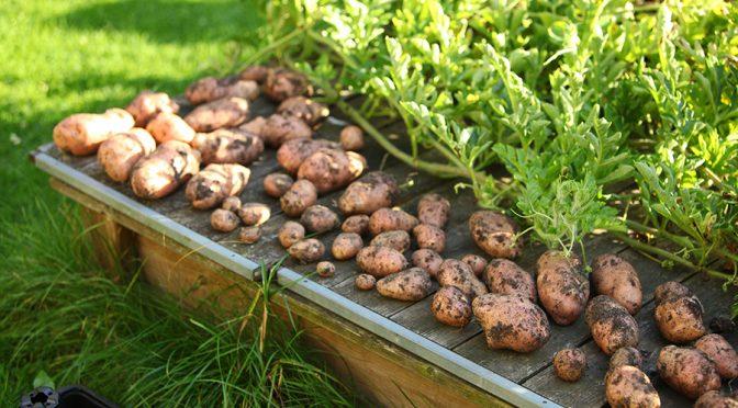Kartoffeln selbst anbauen in Tonne und Sack