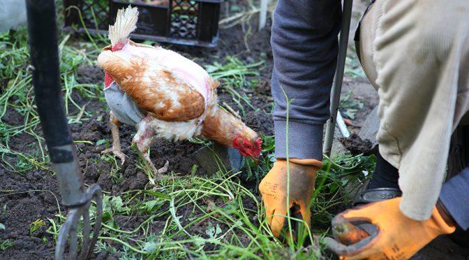 Gastbeitrag »Hühnerhaltung« für Astrid