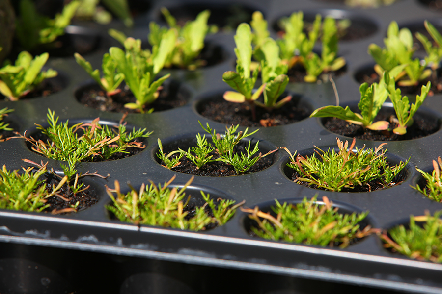 20170506 salat jungpflanzen 4630 selbstversorgung im gartengem sekiosk. Black Bedroom Furniture Sets. Home Design Ideas