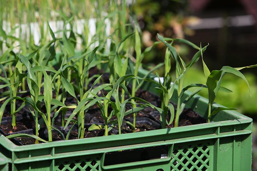 20170506 salat jungpflanzen 4631 selbstversorgung im gartengem sekiosk. Black Bedroom Furniture Sets. Home Design Ideas