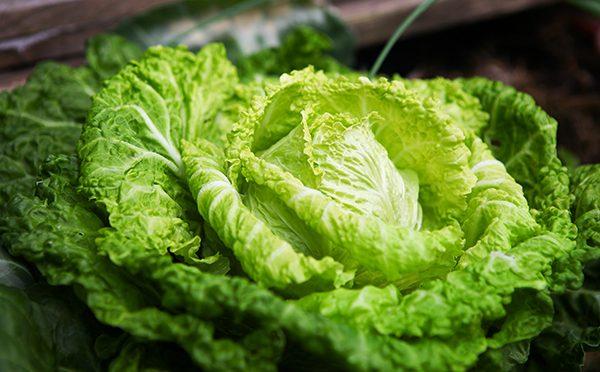 Kohl anbauen – Sommerwirsing, früh und zart