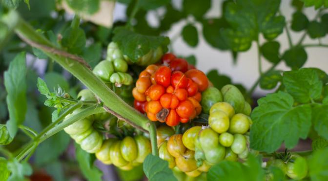 Tomatensorten , neue im Test