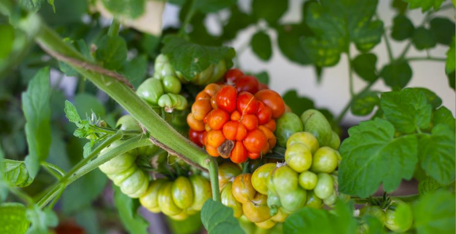 Tomatensorten Reistetomate Tomatensorte
