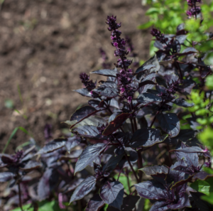 Basilikum rotviolett